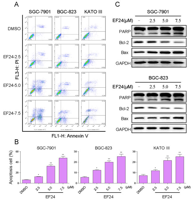 EF24 induced apoptosis in human gastric cancer cells.