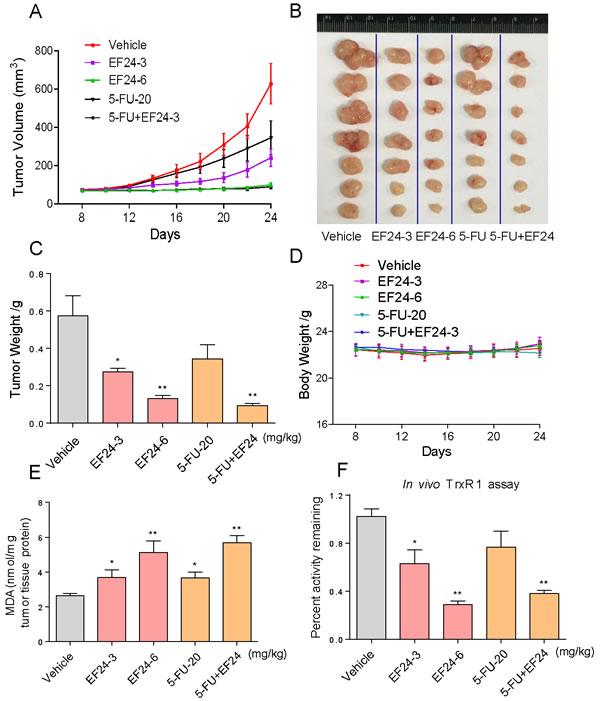 EF24 inhibits SGC-7901 xenograft tumor growth
