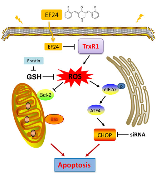 Schematic illustration of the underlying mechanism of EF24's anti-cancer activity.
