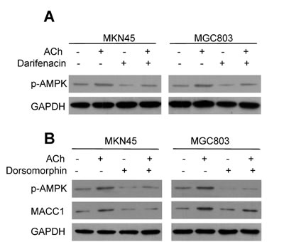 MACC1 is up-regulated by ACh through p-AMPK.
