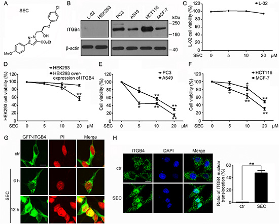 Effect of a chiral small molecule, SEC, on cell viability and ITGB4 nuclear translocation in cells with different expression of ITGB4.
