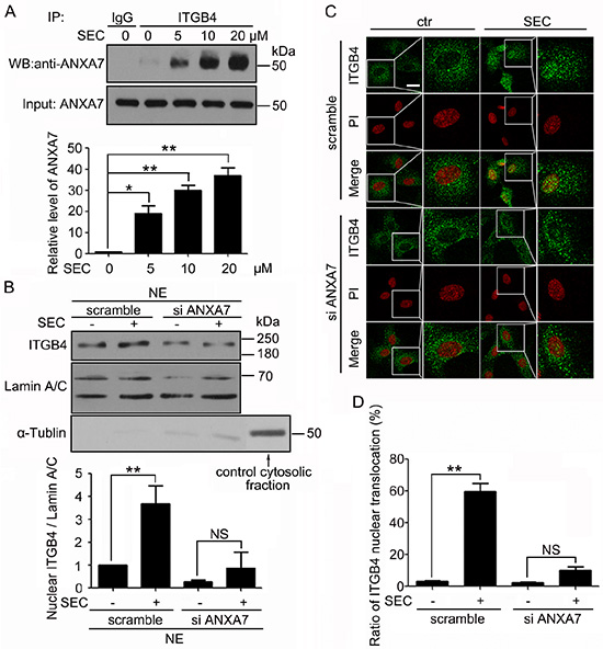 ANXA7 binds to ITGB4 and is required for ITGB4 nuclear translocation.