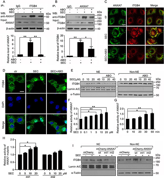 ANXA7 GTPase activity promotes ITGB4 nuclear translocation.