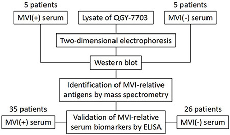 Schema of screening and validation of serum biomarkers for MVI.