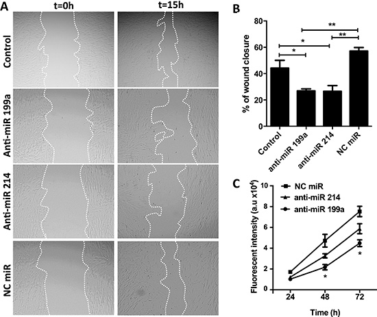 Effect of anti-miR-199a and -214 on migration and proliferation of hPSCs.