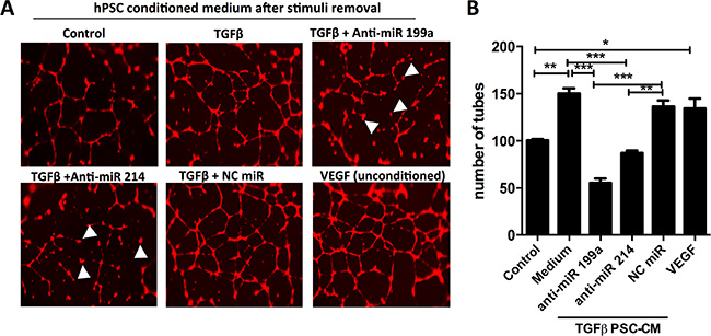 Effect of anti-miR-199a and -214 on hPSC-mediated paracrine effect on endothelial cells.
