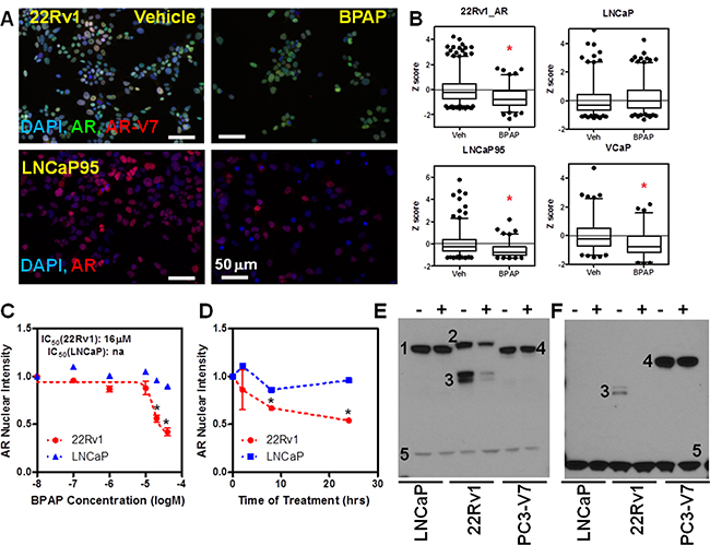 BPAP reduces AR full length and AR-V7 protein level in CRPC cell models.