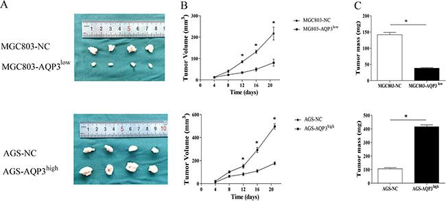 AQP3 promotes tumorigenic potential of GC cells in vivo.