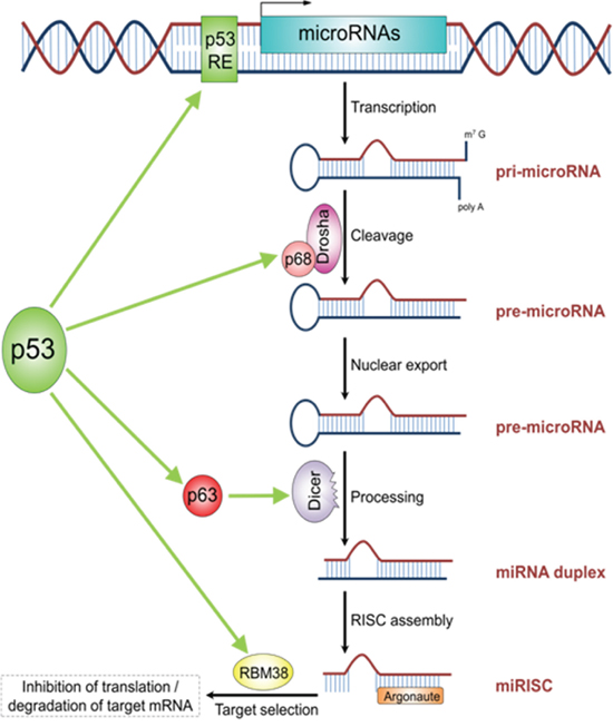The schematic illustrations describes the role of TP53 in miRNA processing and regulation.