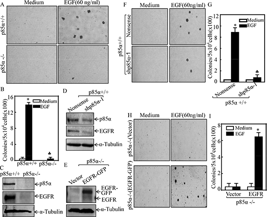 p85α was required for EGFR expression and EGF-induced malignant cell transformation.