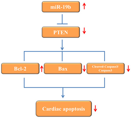 Proposed mechanisms by which miR-19b protects apoptosis induced by H