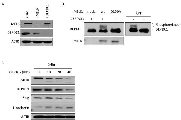 The expression of downstream molecules in OTS167-treated cells.