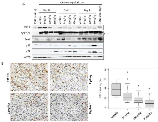 MELK and Ki67 expression in OTS167-treated tumor tissue.