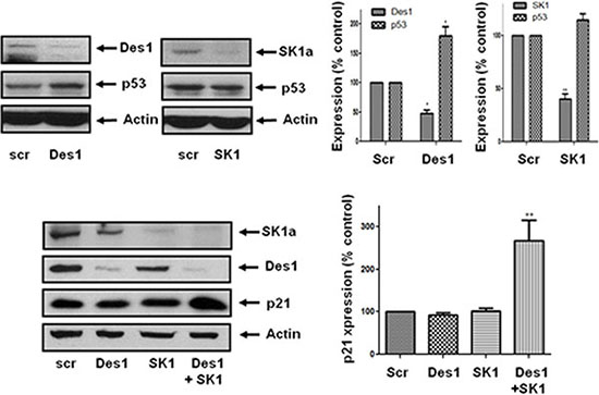 Effect of Des1 and SK1 siRNA on p21 and p53 expression in androgen-independent LNCaP-AI cells.