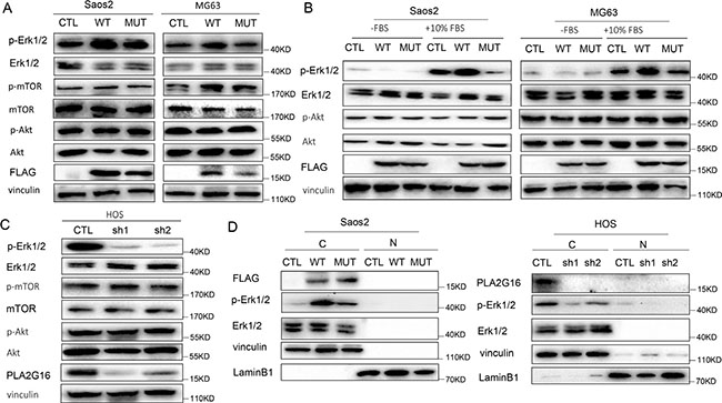 PLA2G16 localizes to the cytoplasm and induces the phosphorylation of ERK1/2.