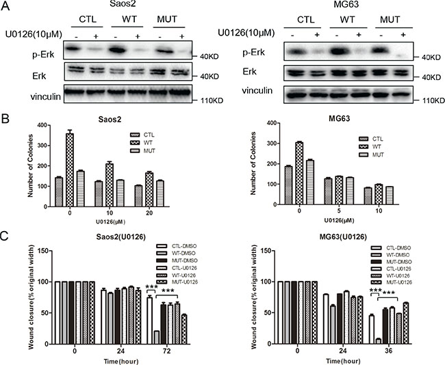 Inhibition of the MAPK pathway suppresses low density colony formation and migration in osteosarcoma cells.