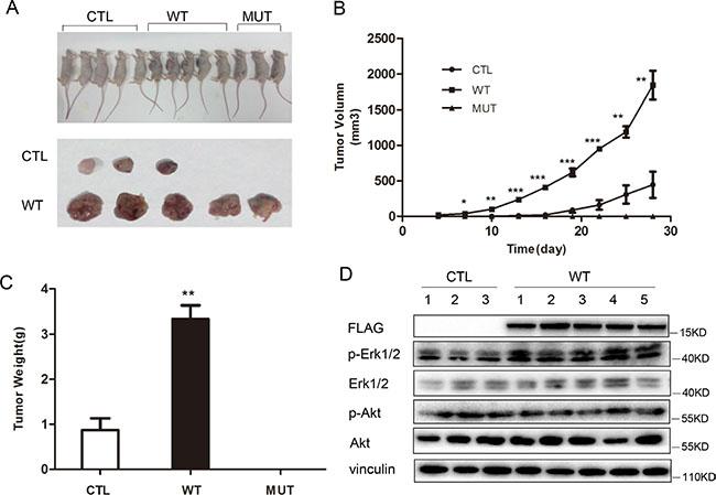 PLA2G16 promotes Saos2 cell tumorigenesis in vivo.
