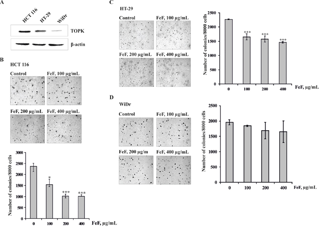 The effects of FeF on colony formation of colon carcinoma cells.