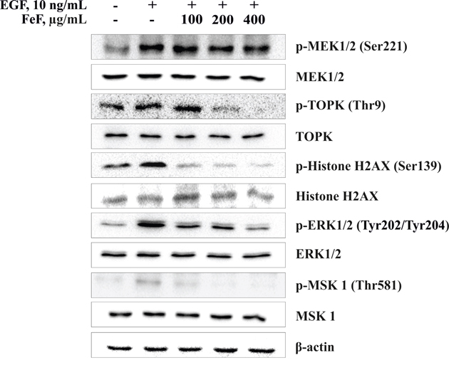 The effect of FeF on EGF-induced phosphorylation of MEK1/2/TOPK/ERK1/2/MSK 1 signaling pathway in HCT 116 cells.
