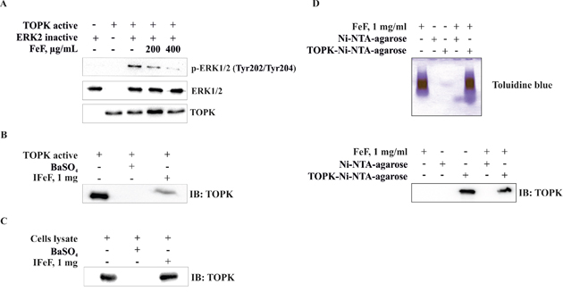The effect of FeF on TOPK kinase activity in vitro and direct binding with TOPK in vitro and ex vivo.