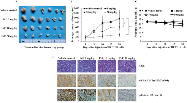 The effect of FeF on tumor growth and phosphorylation of TOPK downstream signaling targets in HCT 116 xenograft mouse model.