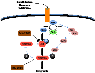 Cross talk between Akt/mTOR and MEK signaling pathways.