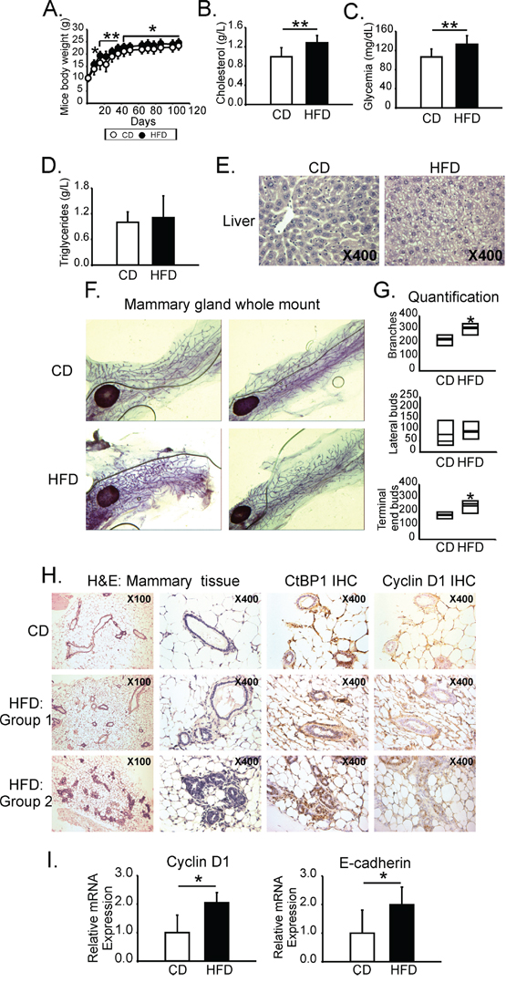 MeS increased postnatal mammary gland development and induced CtBP1 expression in mammary ducts.