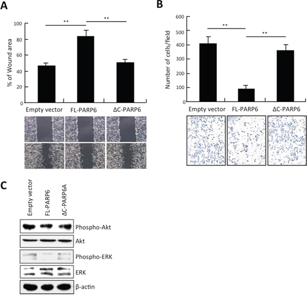 PARP6 inhibits invasion and migration.