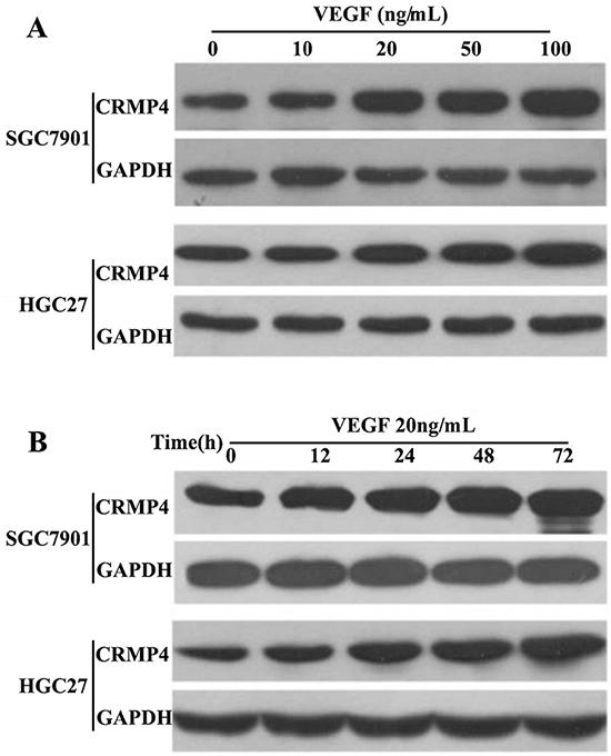 VEGF upregulates CRMP4 expression.