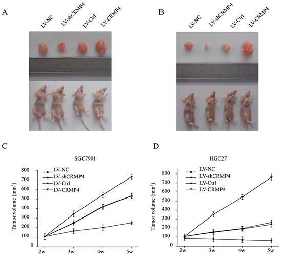 CRMP4 knockdown inhibits tumor growth in vivo.