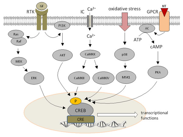 Signal transduction pathways modulating CREB expression.