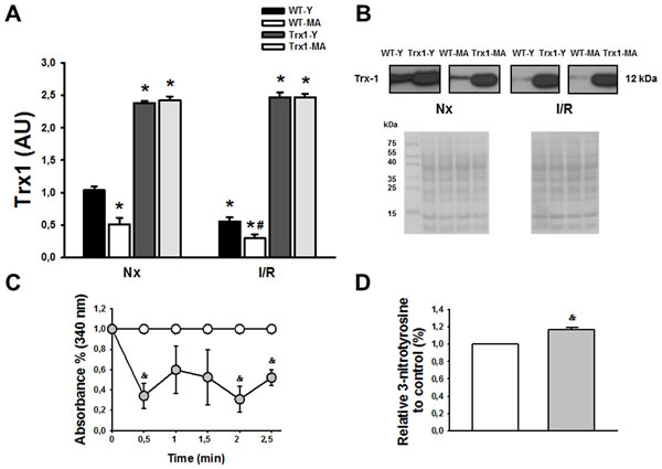 Panel A shows an increased in Trx1 expression in transgenic animals, both in young (Y) and middle-aged (MA) group in normoxic (Nx) conditions and after ischemia/reperfusion protocol.