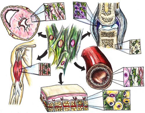 MSC effects on organ systems.