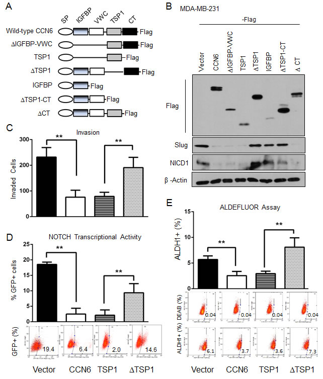 The TSP1 domain of CCN6 is required for CCN6-mediated functions