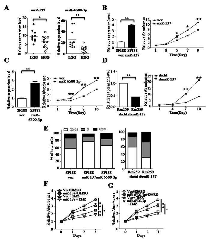 miR-137 and miR-6500-3p suppress cell proliferation and have a combined effect with TMZ treatment.