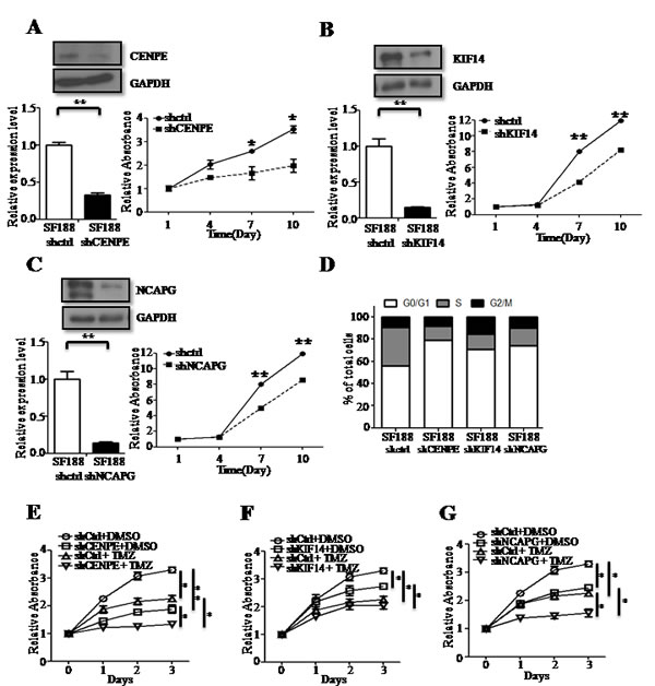 CENPE, KIF14 or NCAPG knockdown (KD)reduces cell proliferation and has a combined anti-proliferative effect in the presence of TMZ.