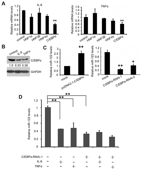 IL-6 and TNF-α suppress miR-122 by downregulating C/EBPα.