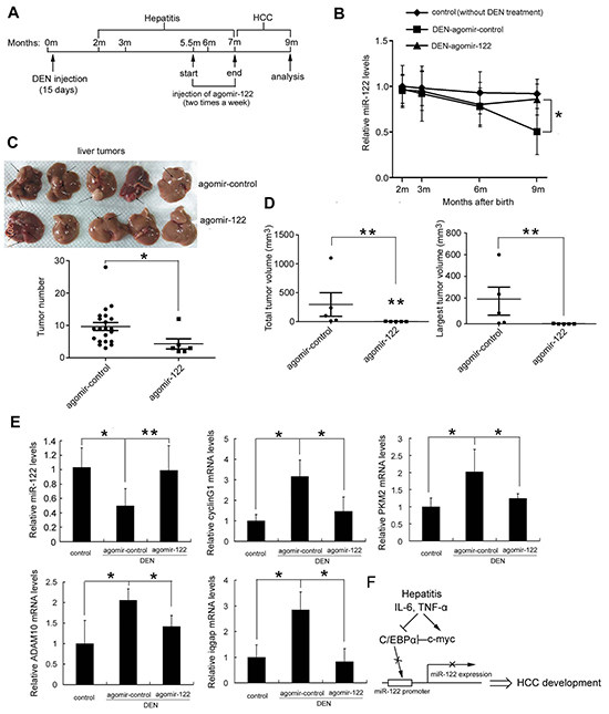 Restoration of miR-122 levels by agomir-122 delivery suppressed DEN-induced hepatocarcinogenesis.