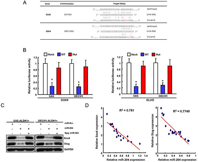 miR-204 targets Sox4 and Slug in OSCC-CSCs.