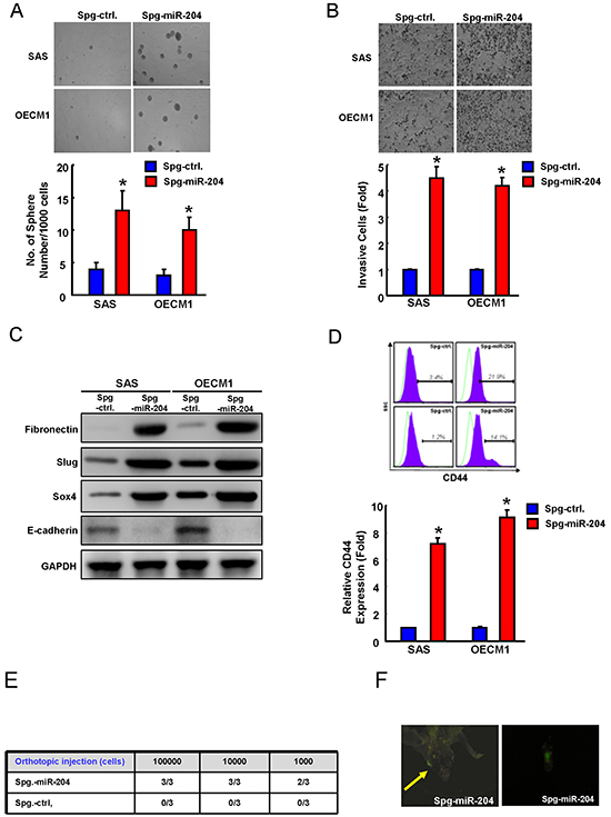 Suppression of miR-204 is able to enhance cancer stemness and metastasis.