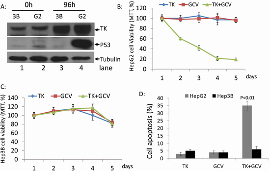 Effect of rAdV-TK/GCV on HepG2 cells (p53 wild-type) and Hep3B cells (p53 null).