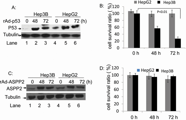 The rAdV-p53- and rAdV-ASPP2-induced cell death in HepG2 and Hep3B cells.