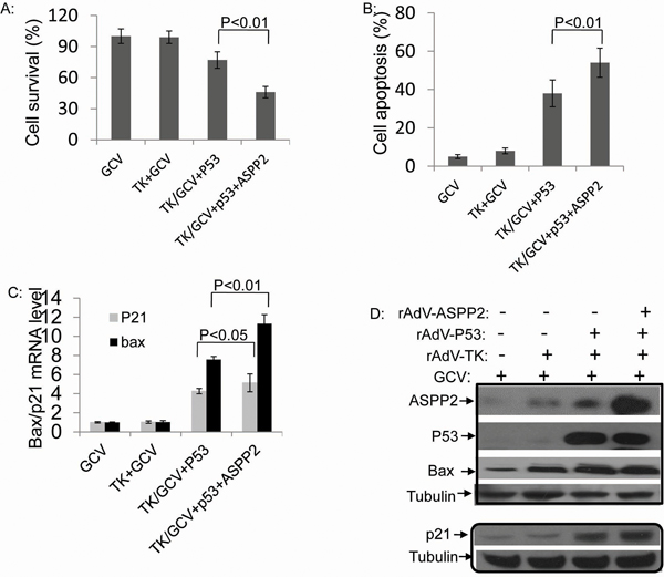 Combining p53 with ASPP2 promotes rAdV-TK/GCV-induced death in Hep3B (p53 null) cells.