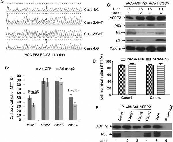 ASPP2 can enhance the therapeutic effect of rAdV-TK/GCV on primary cultured wild-type p53 HCC cells.