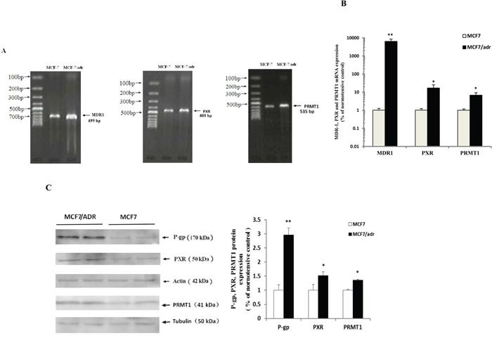 P-gp, PXR and PRMT1 were highly expressed in MCF7/adr cells.