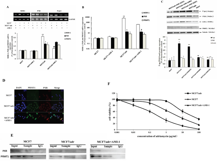 AMI-1 suppresses the expression of MDR1 in MCF7/adr cells.