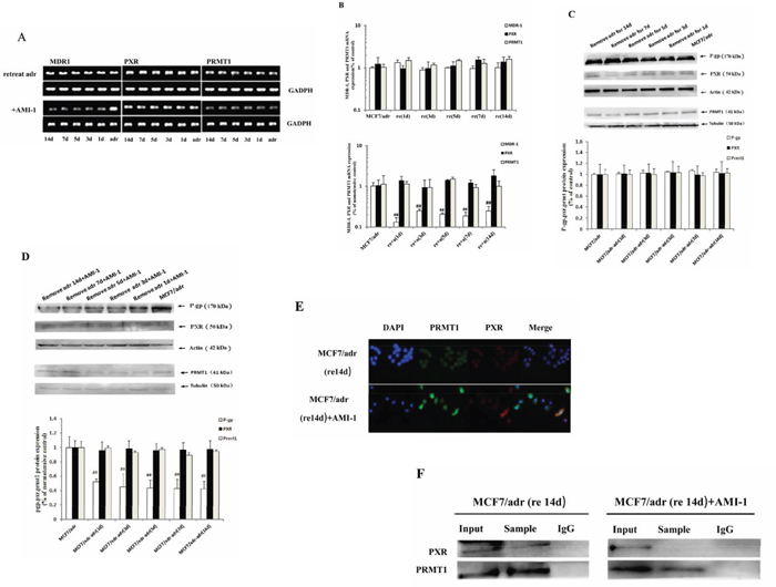 PRMT1 involved in the maintenance of MDR1 overexpression in MCF7/adr cells after removing adriamycin.