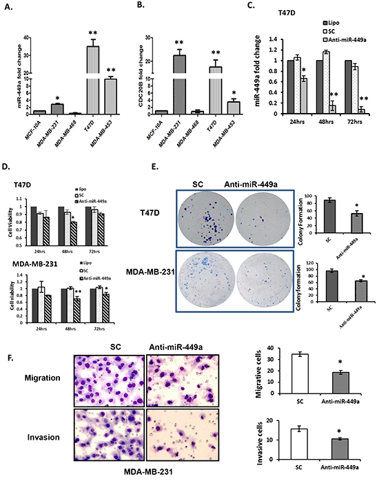 Downregulation of miR-449a reduced cell proliferation, clonogenicity, migration, and invasion in breast cancer cells.