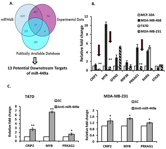 MiR-449a putative gene target identification.
