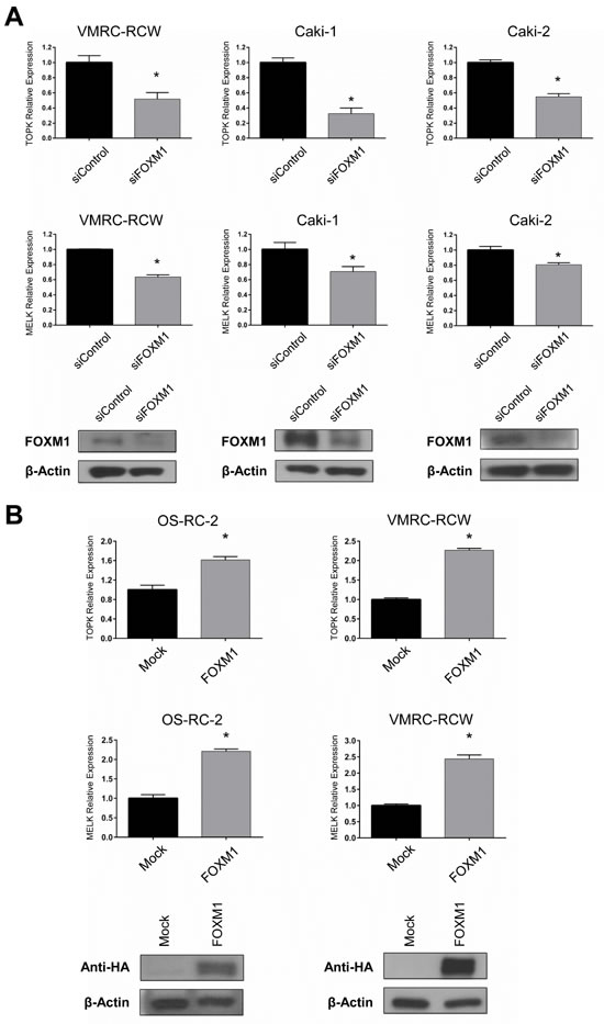 FOXM1 also regulates TOPK and MELK expression.